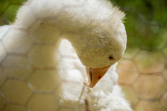 Close up through a chicken wire fence of a white goose arching i Stock Photography