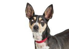 Close-up Chihuahua Één Blind Oog royalty-vrije stock fotografie