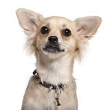 Close-up of Chihuahua, 10 months old Stock Images