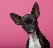 Close-up of Chihuahua, 18 months old Stock Images