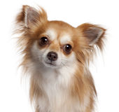 Close-up of Chihuahua, 2 years old Royalty Free Stock Image