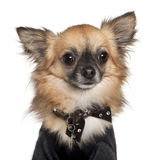 Close-up of Chihuahua, 2 years old Royalty Free Stock Photos