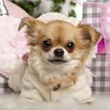 Close-up of Chihuahua, 2 years old, lying Royalty Free Stock Photo