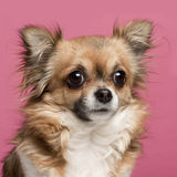 Close-up of Chihuahua, 3 years old Royalty Free Stock Images