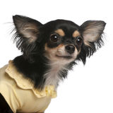 Close-up of Chihuahua, 3 years old Stock Photo