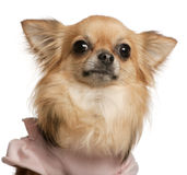 Close-up of Chihuahua, 3 years old Royalty Free Stock Photos