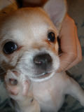Close-up of Chihuahua. Royalty Free Stock Photos