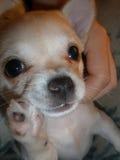 Close-up of Chihuahua. Royalty Free Stock Photos