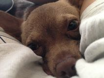 Close up of a Cute, Small, Brown Chihuahua  Royalty Free Stock Images