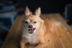 Close-up of a Chihuahua Stock Photography