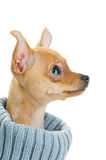 Close-up of Chihuahua dog in sweater Royalty Free Stock Image