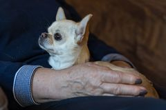 Close up of chihuahua dog on the woman hand royalty free stock photo