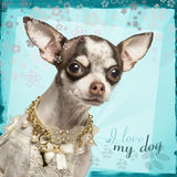 Close-up of Chihuahua with fancy collar Stock Images