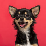Close-up of a Chihuahua. In front of a pink background Stock Photo
