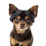 Close-up of a Chihuahua Royalty Free Stock Image