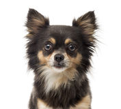 Close-up of a Chihuahua Stock Images