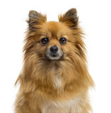 Close-up of a Chihuahua Stock Image