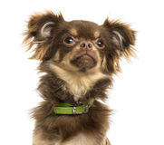 Close-up of a Chihuahua with green collar, looking up Stock Photography