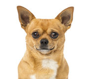Close up of a Chihuahua, isolated Stock Images