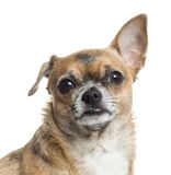 Close up of a Chihuahua, isolated Royalty Free Stock Photo