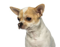 Close-up of a Chihuahua looking away, isolated Royalty Free Stock Images