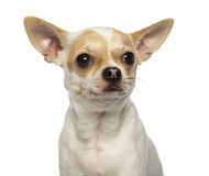 Close-up of a Chihuahua looking away, isolated Stock Photography