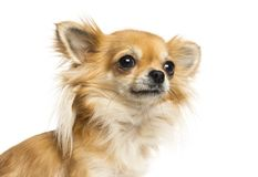 Close-up of a Chihuahua looking away, isolated. On white stock photos