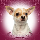 Close-up of a Chihuahua looking away, on a pink background Royalty Free Stock Photos