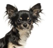 Close up of a Chihuahua looking at the camera. Isolated on white stock photo