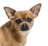 Close up of a Chihuahua looking at the camera, isolated Royalty Free Stock Image