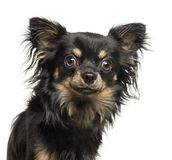 Close-up of a Chihuahua looking at the camera, 2 years old. Isolated on white royalty free stock photography