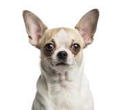 Close-up of a Chihuahua looking at the camera Stock Photography