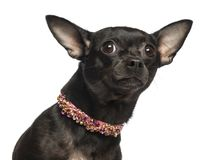 Close-up of a Chihuahua looking fearful, isolated. On white stock photo