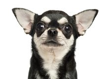Close-up of a Chihuahua, 7 months old, isolated. On white royalty free stock photos