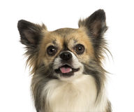 Close-up of a Chihuahua panting, isolated Stock Image