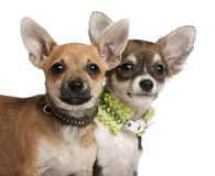 Close-up of Chihuahua puppies, 3 months old Stock Image