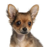 Close-up of Chihuahua puppy, 2 and a half months Royalty Free Stock Image