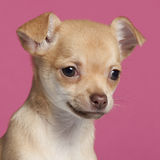 Close-up of Chihuahua puppy, 2 months old Royalty Free Stock Images