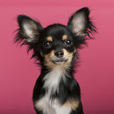 Close-up of Chihuahua puppy, 6 months old Royalty Free Stock Images