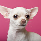 Close-up of Chihuahua puppy, 6 months old Stock Photography