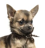 Close-up of a Chihuahua puppy with fancy dog collar. Isolated on white royalty free stock photo