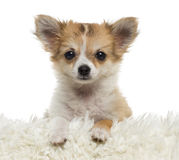 Close up of a Chihuahua puppy looking at the camera, isolated Stock Images