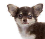 Close-up of a Chihuahua puppy looking at the camera, isolated Royalty Free Stock Photo