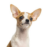 Close-up of a Chihuahua puppy looking up, 4 months old Royalty Free Stock Images