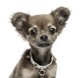 Close-up of a Chihuahua puppy, 3 months old, isolated Stock Photography