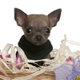 Close-up of Chihuahua puppy sitting Royalty Free Stock Photography