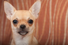 Close up of Chihuahua puppy on sofa, 4 months old female Stock Photography
