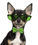 Close-up of a Chihuahua puppy wearing glasses and a bow tie Stock Photo