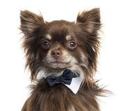 Close up of a Chihuahua wearing a bow tie, isolated Royalty Free Stock Photos