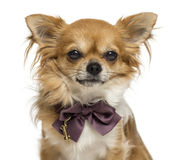 Close-up of a Chihuahua wearing a bow tie, isolated Royalty Free Stock Image